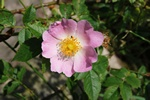 Dog Rose (Rosa canina ssp. canina)